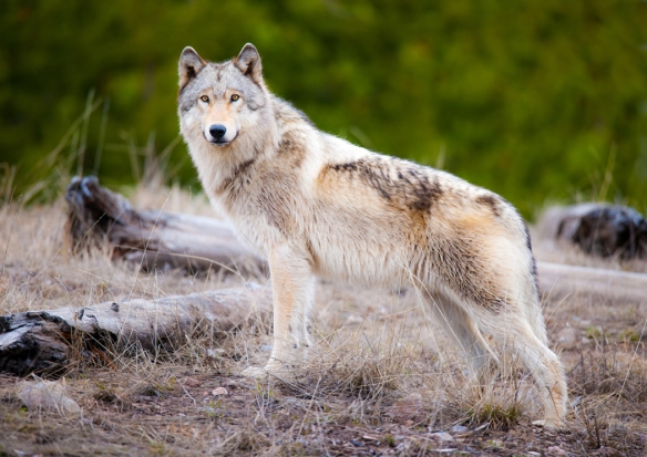 Crandall photographed this Wolf in West Yellowstone National Park - it was deemed his