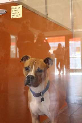 A dog waiting to get walked by volunteers at Best Friends Animal Society in the Sugar House neighborhood .