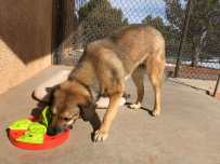A dog eating out of a special bowl to slow down her eating.